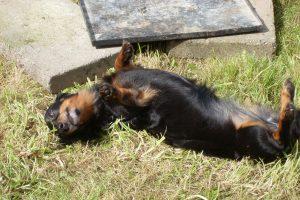 im Gras kullern macht auch kleinen Hunden Spaß